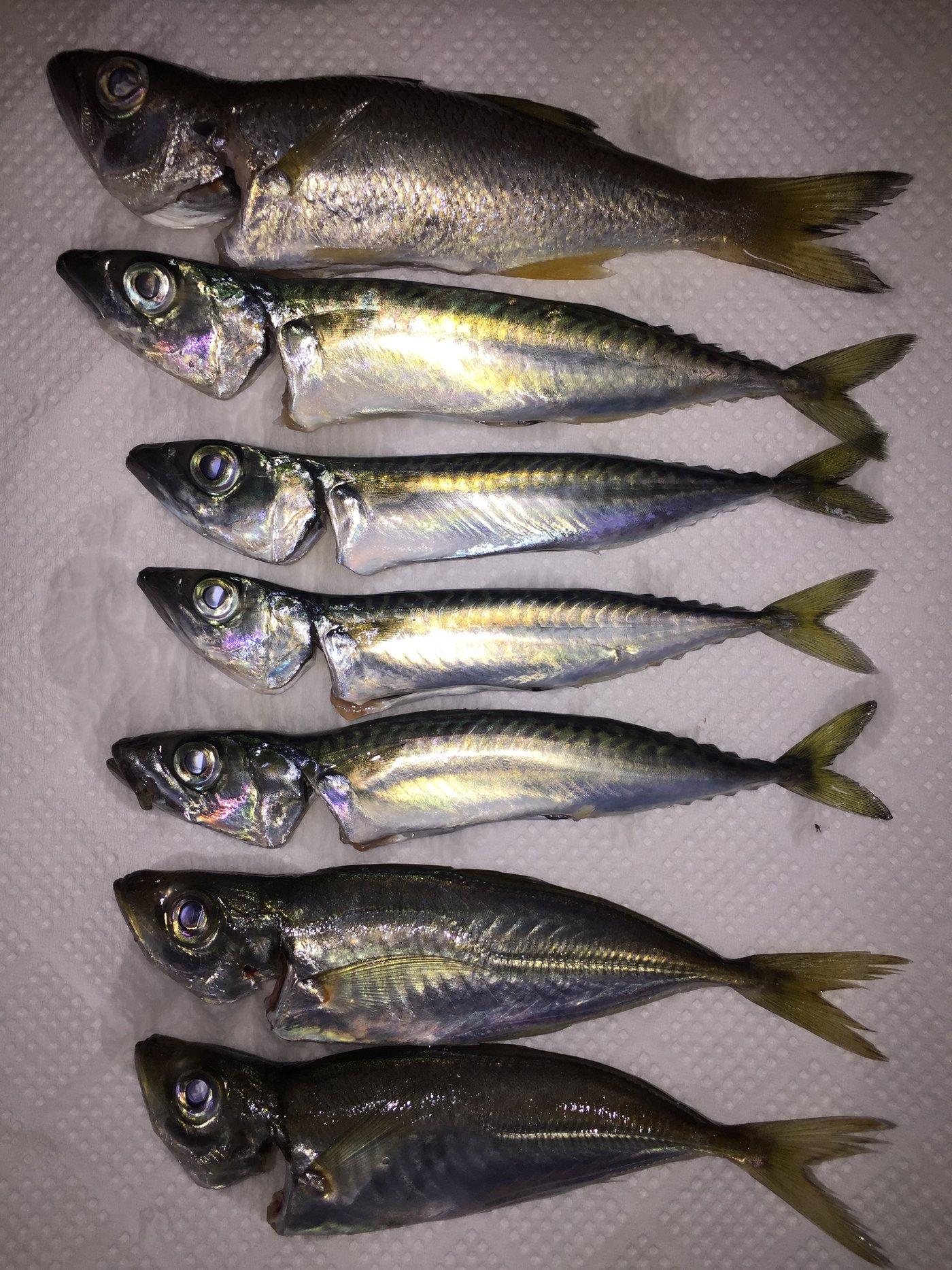 もっちゃんさんの投稿画像,写っている魚はムツ,アジ,ゴマサバ,ネンブツダイ