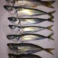 もっちゃんさんの静岡県沼津市でのムツの釣果写真