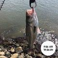 てつこさんの宮城県東松島市でのスズキの釣果写真