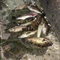 まさおさんさんの三重県伊勢市での釣果写真