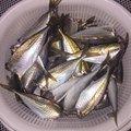 波那の慶治さんの大分県津久見市でのアジの釣果写真