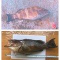アキさんの静岡県沼津市でのオオモンハタの釣果写真