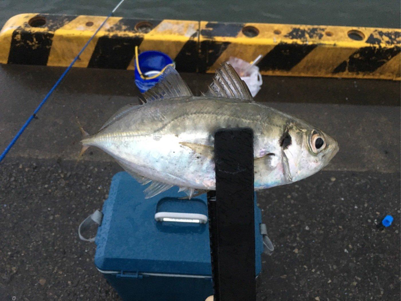 キビやんさんの投稿画像,写っている魚はアジ