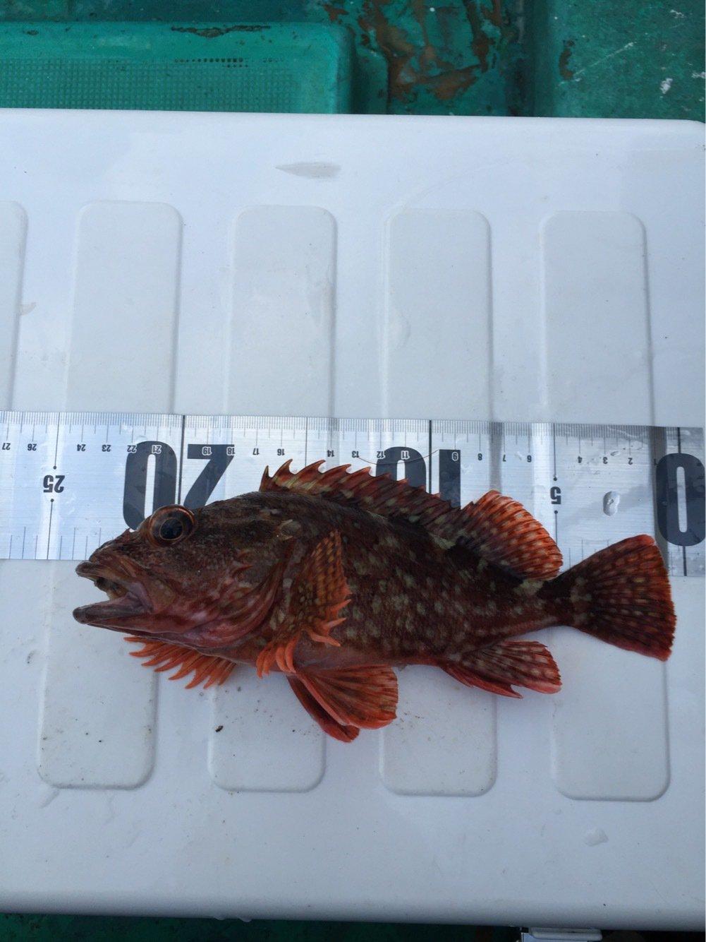 S,mukanoさんの投稿画像,写っている魚はカサゴ