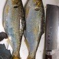 赤ヒロさんの神奈川県でのキュウセンの釣果写真