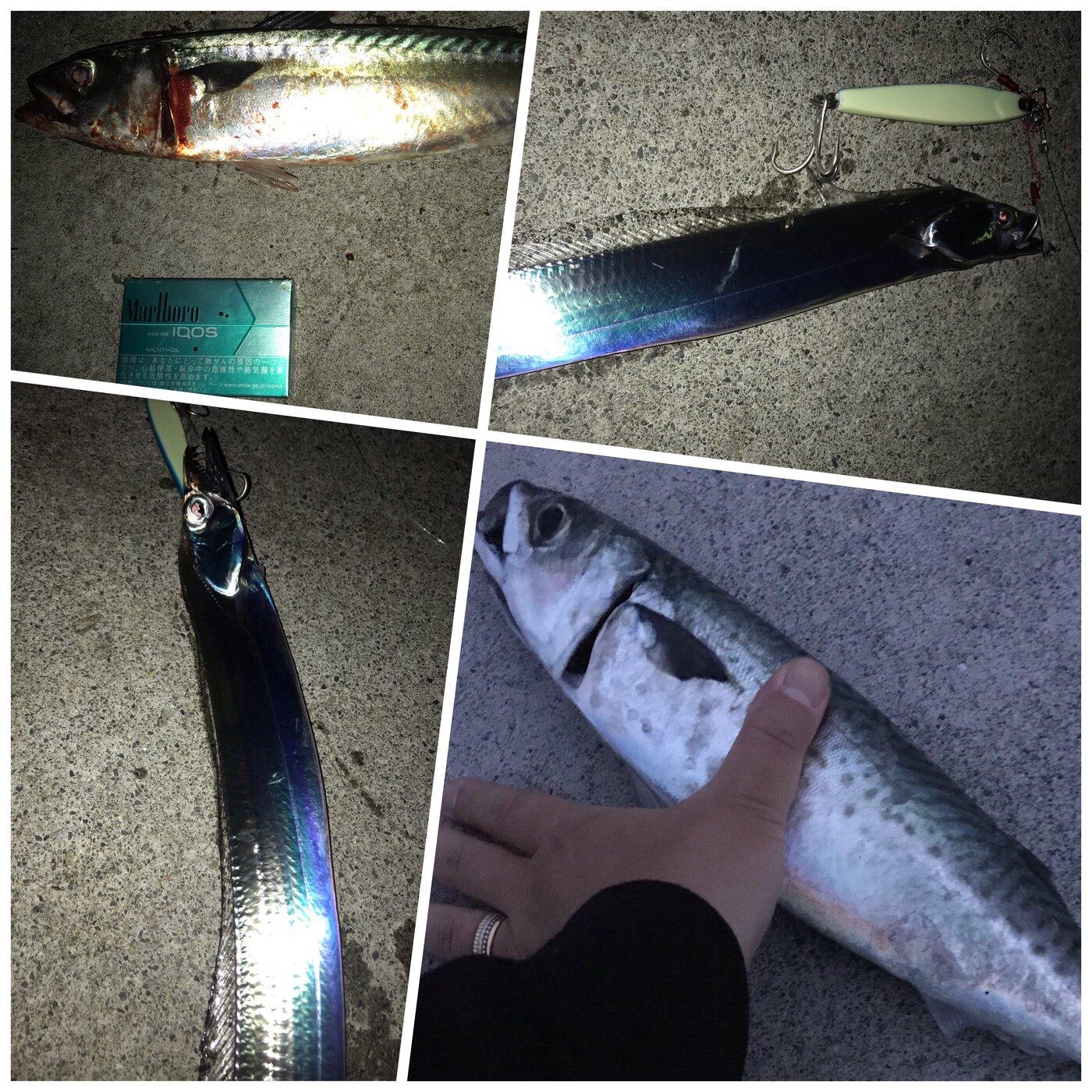 mazumeさんの投稿画像,写っている魚はタチウオ,マサバ