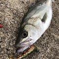 センチョーさんの茨城県鹿嶋市での釣果写真