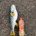 幽希さんの兵庫県西宮市での釣果写真