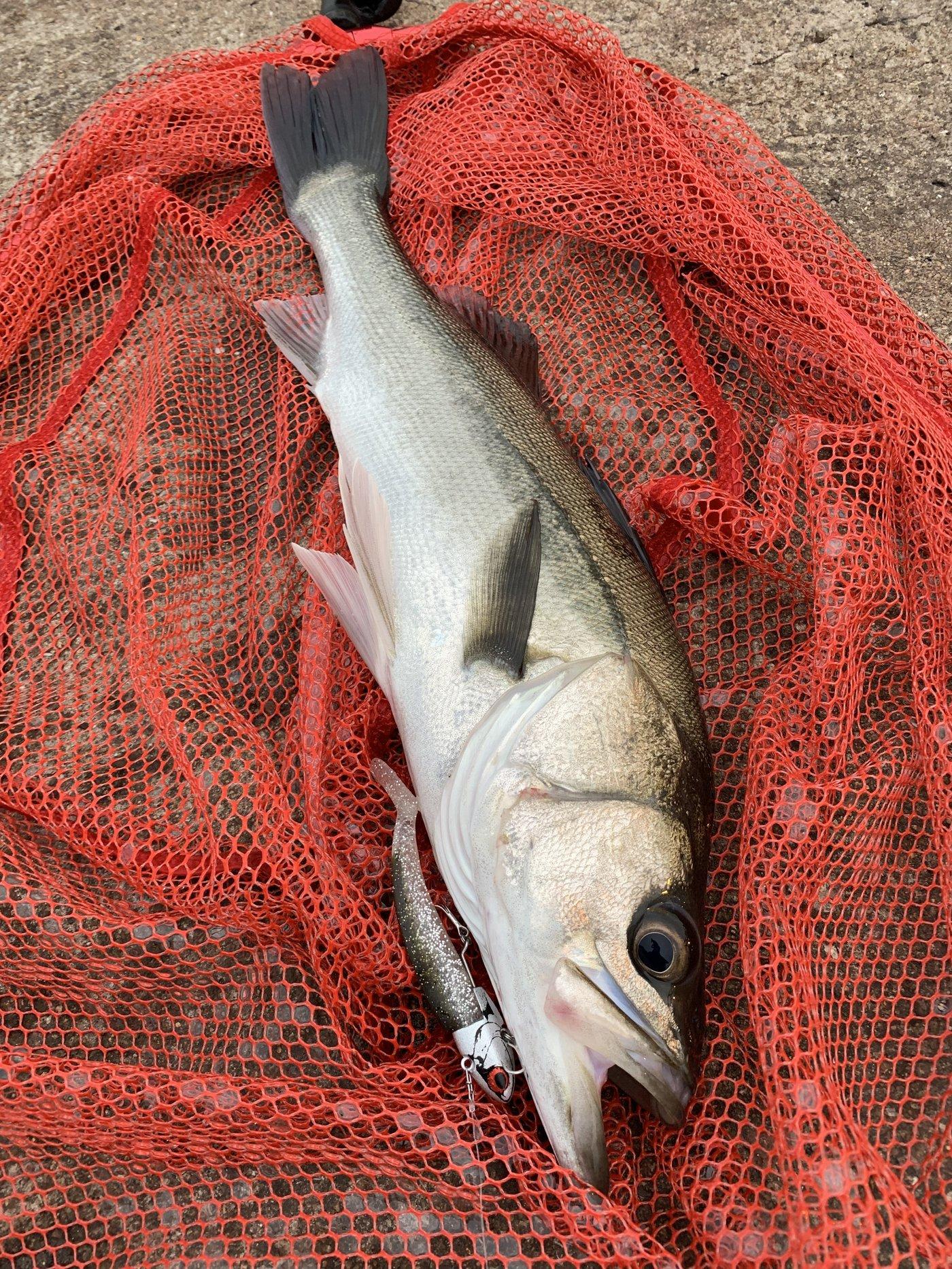 アポロンさんの投稿画像,写っている魚はスズキ