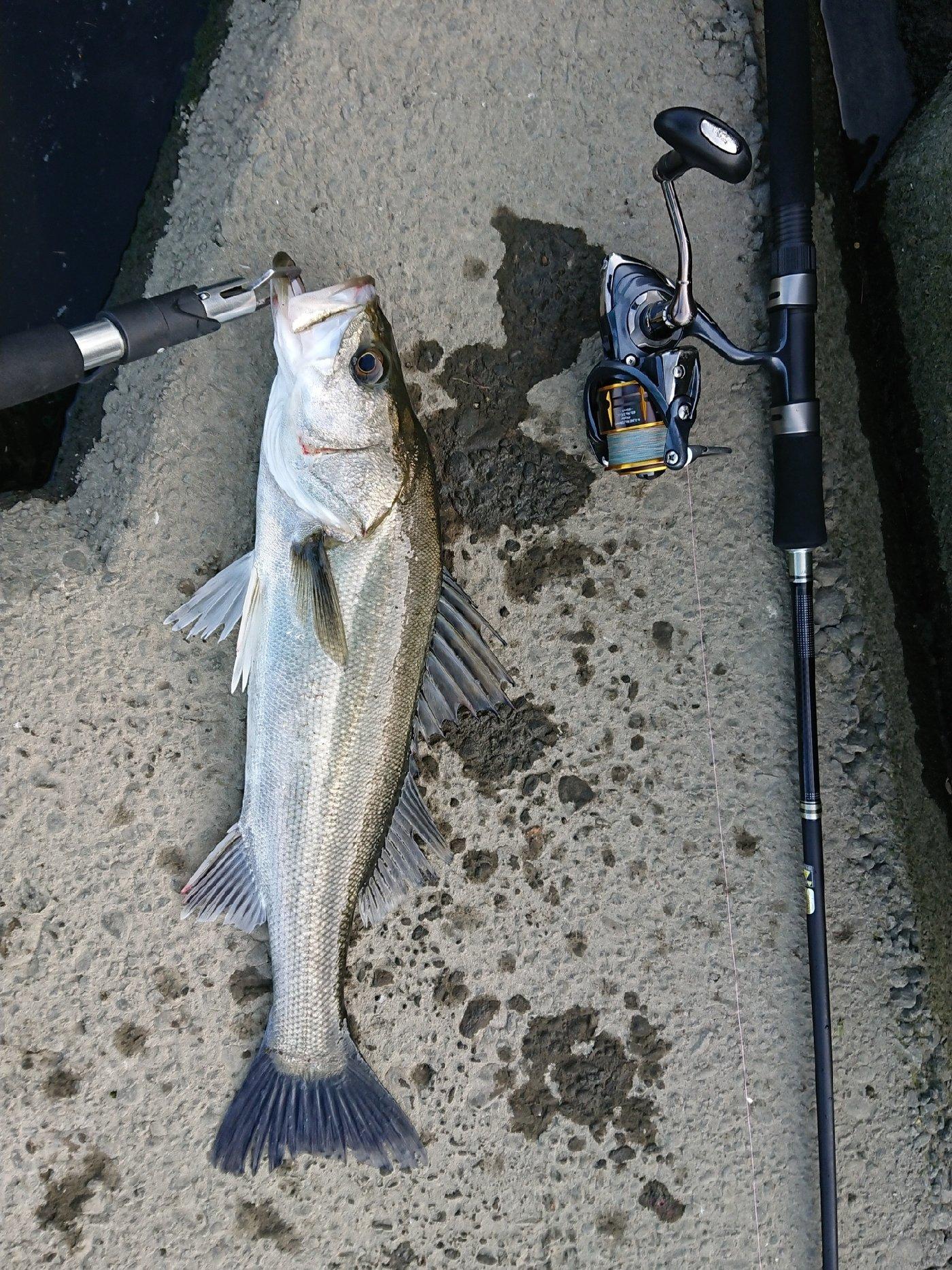 manabuさんの投稿画像,写っている魚はスズキ