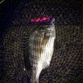 ポニーさんの千葉県浦安市でのクロダイの釣果写真