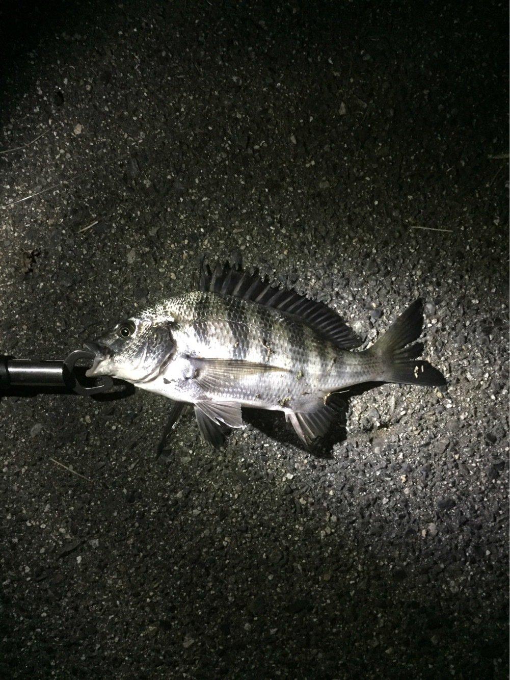 tksさんの投稿画像,写っている魚はクロダイ