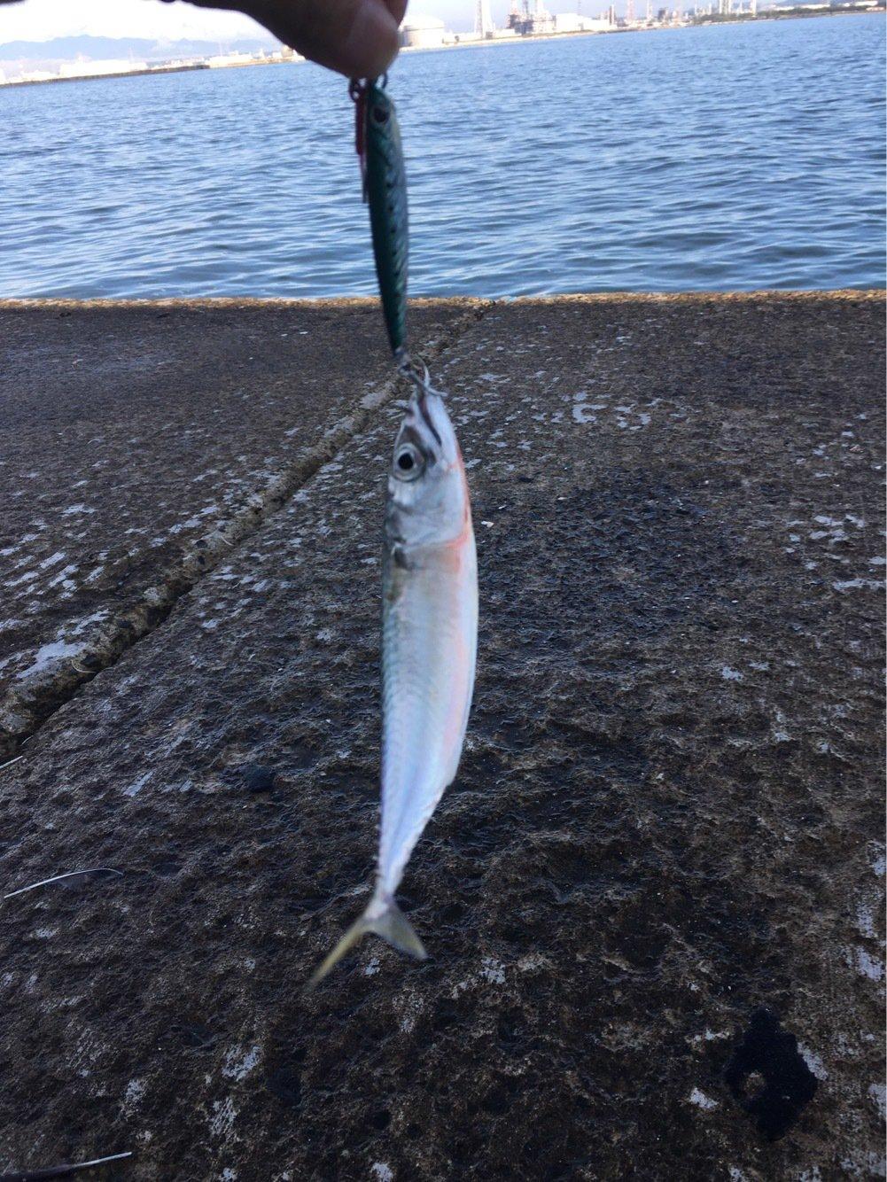 てつこさんの投稿画像,写っている魚はマサバ