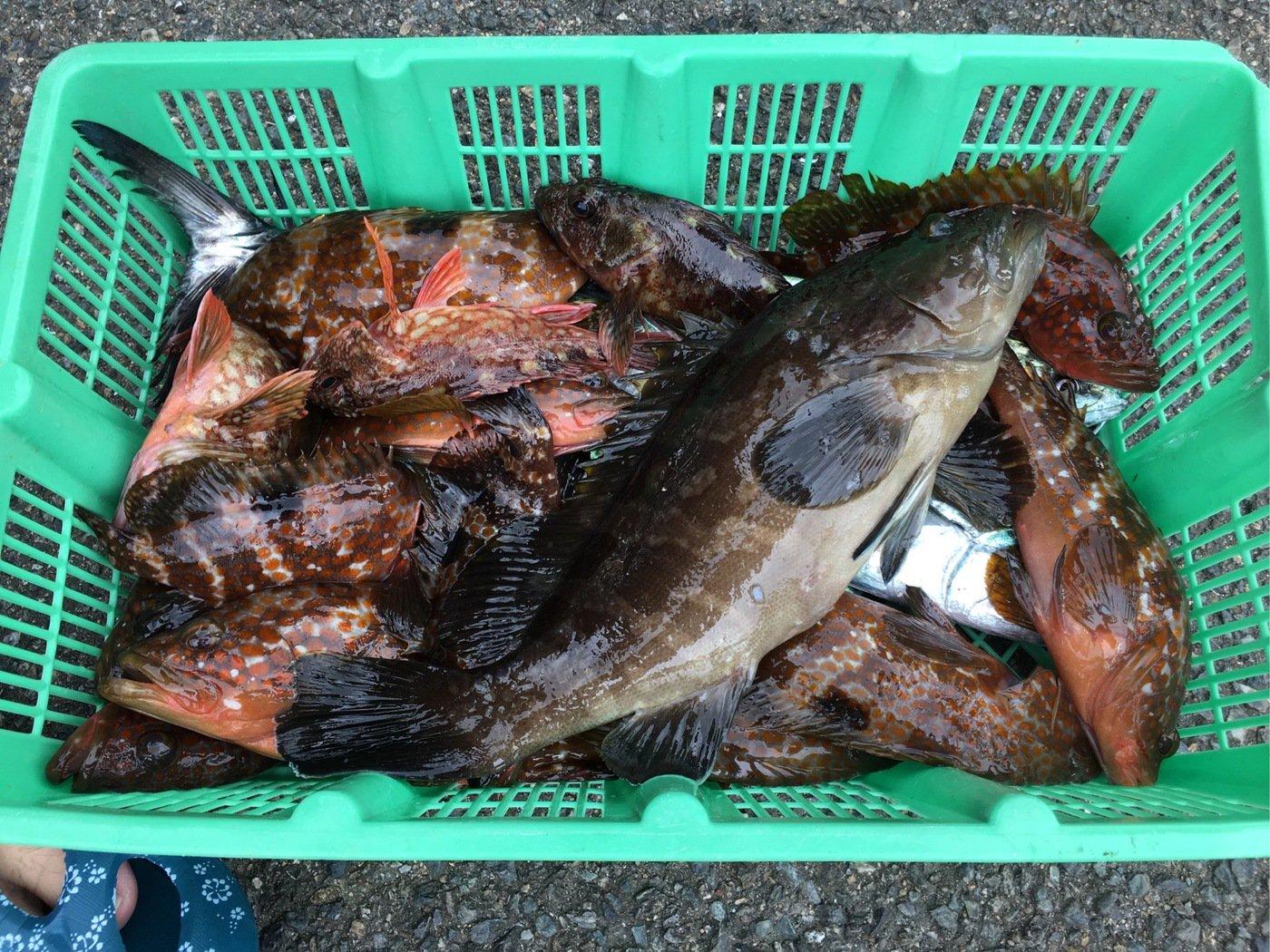 せいたろさんの投稿画像,写っている魚はキジハタ