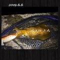kaito@さんの福岡県福津市でのアオリイカの釣果写真