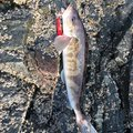 ニシさんのホッケの釣果写真