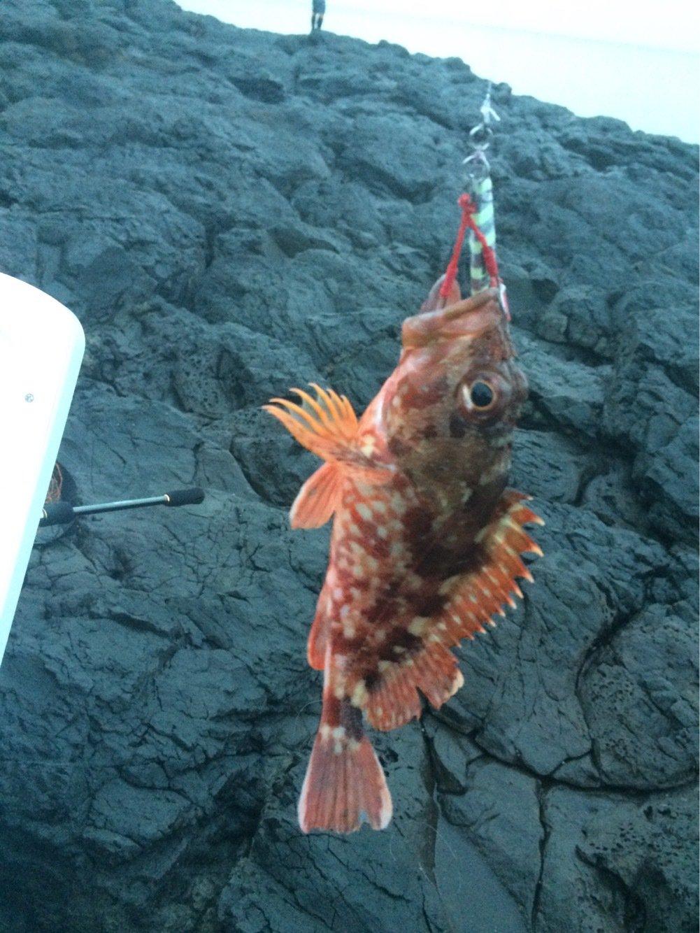 エソキングさんの投稿画像,写っている魚はカサゴ