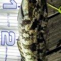 snufkin49さんの青森県でのアイナメの釣果写真