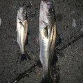 鮎川魚伸さんの三重県桑名市での釣果写真