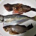 ひがきさんの愛媛県伊予市での釣果写真