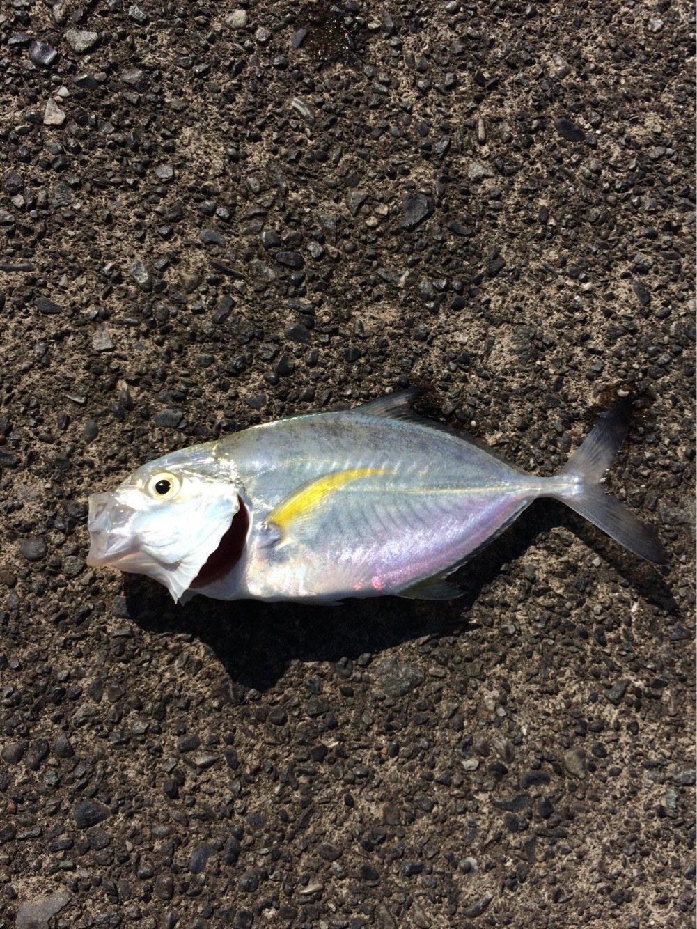 イナバーさんの投稿画像,写っている魚はギンガメアジ
