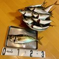 フィッシャーさんの神奈川県横浜市でのカサゴの釣果写真