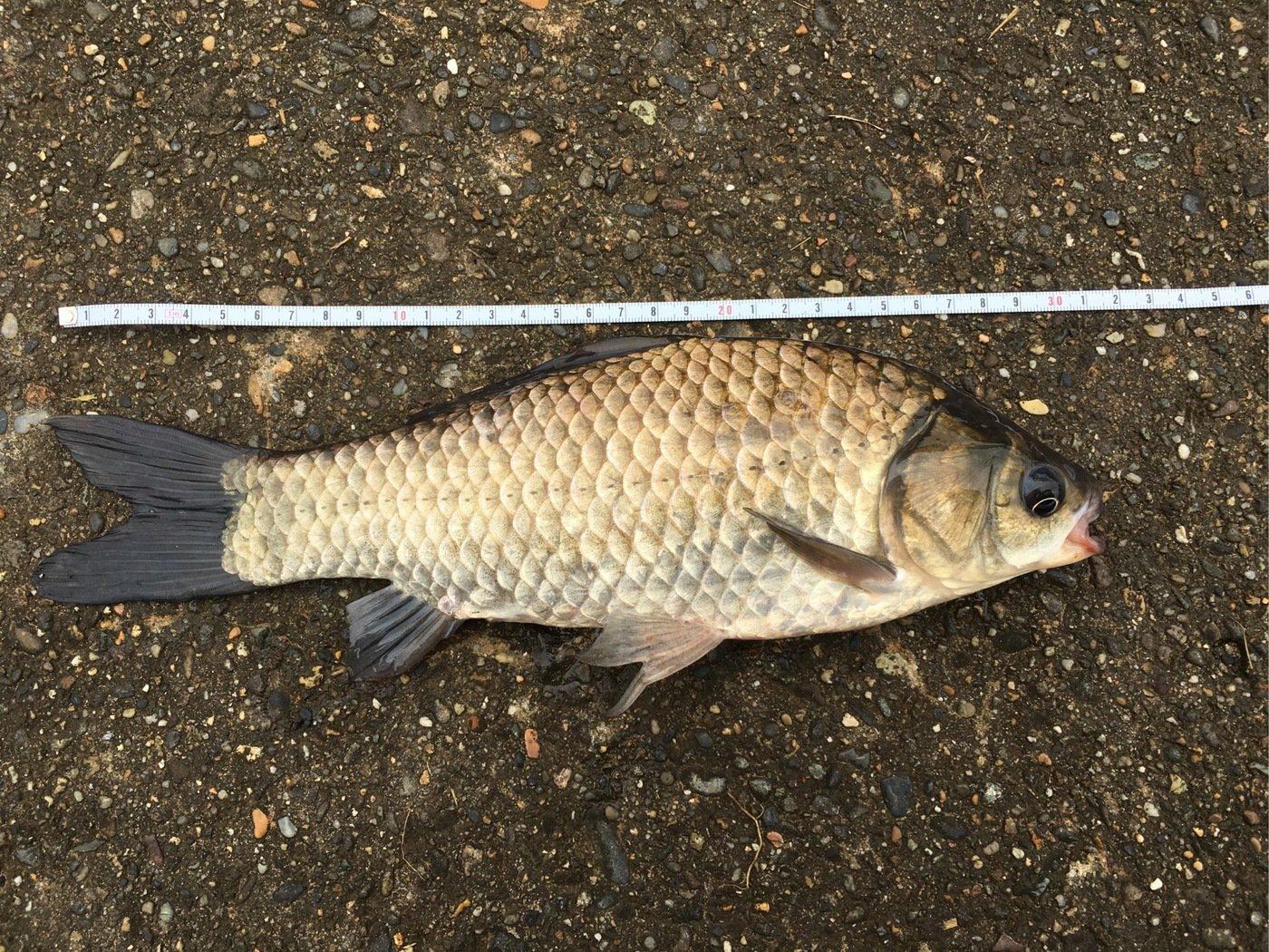 ニゴイさんの投稿画像,写っている魚はギンブナ
