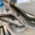 daikiさんの千葉県鴨川市での釣果写真