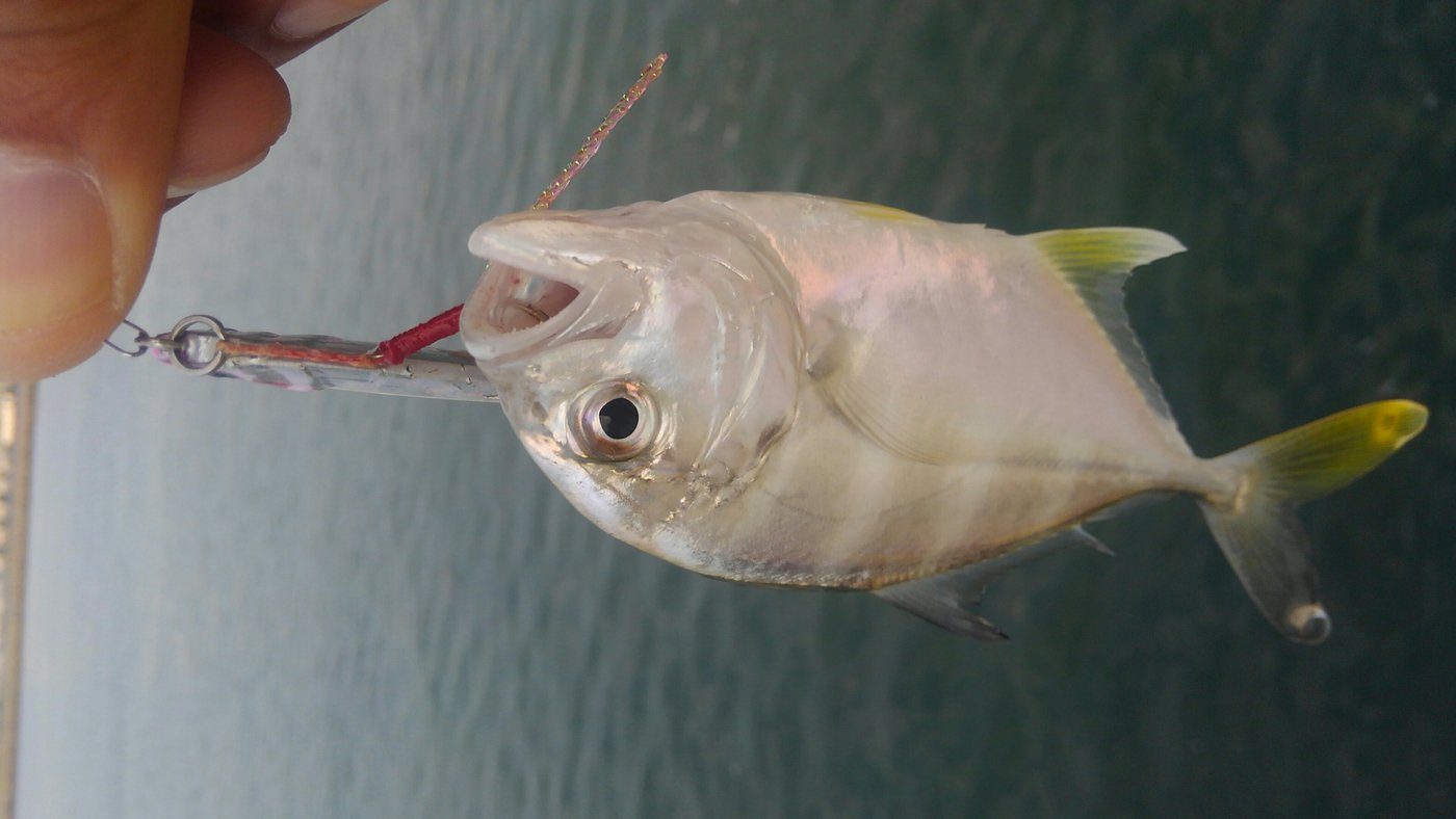 mrfjさんの投稿画像,写っている魚はギンガメアジ