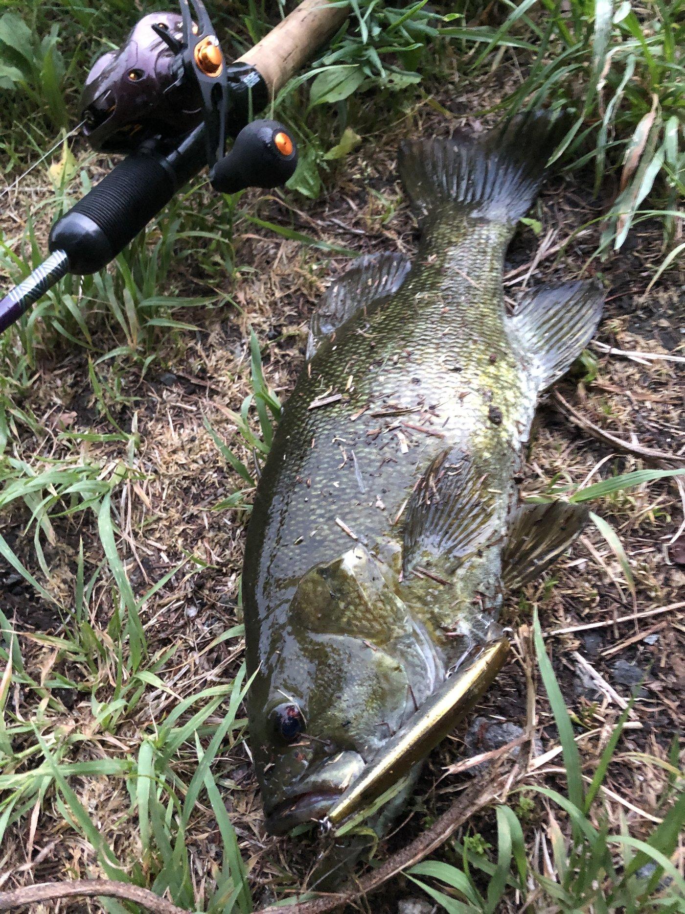 コバヨコ@バス専さんの投稿画像,写っている魚はスモールマウスバス