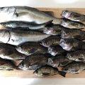 ヨシハラさんの山口県熊毛郡での釣果写真