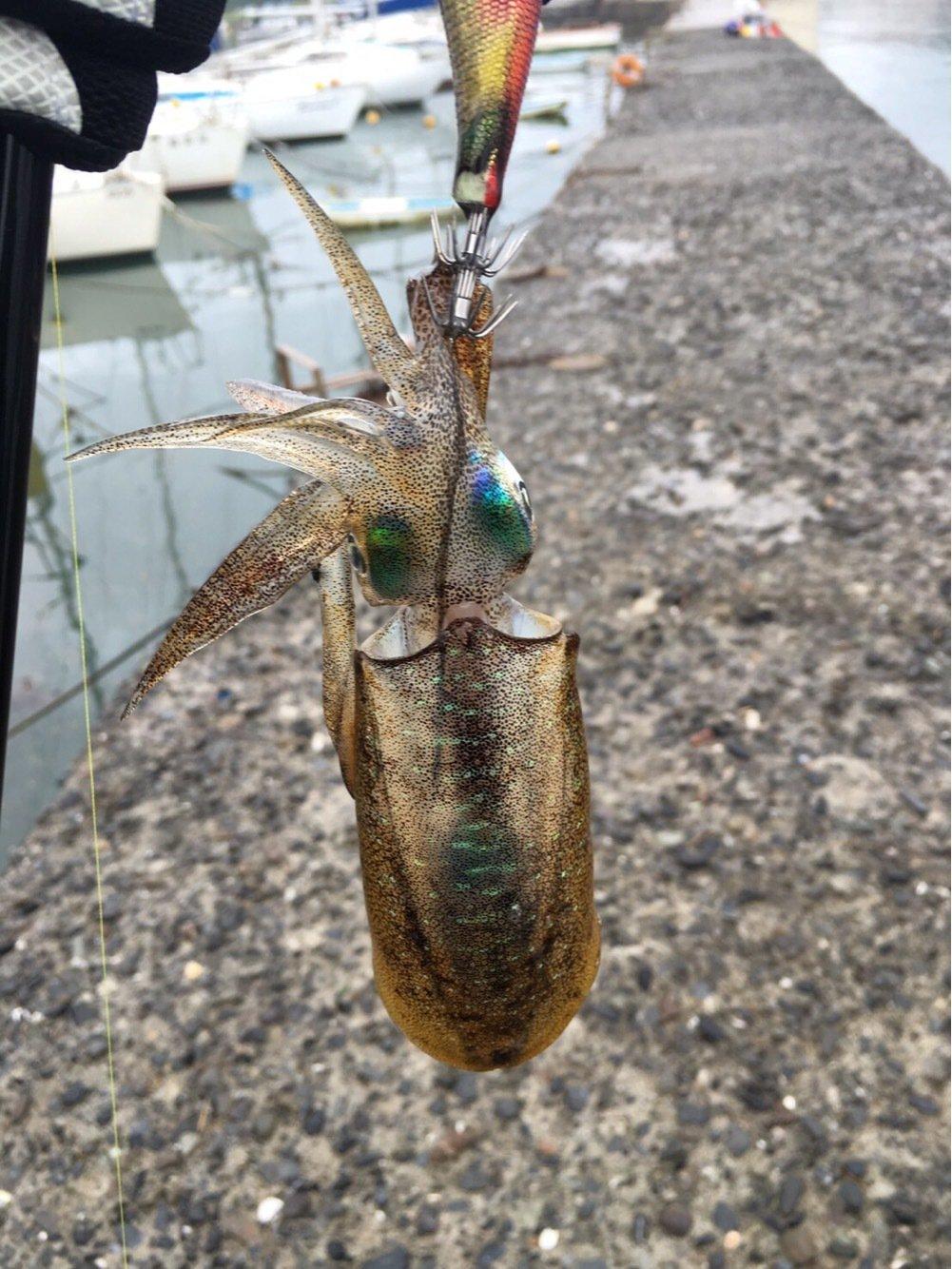 .Kさんの投稿画像,写っている魚はアオリイカ