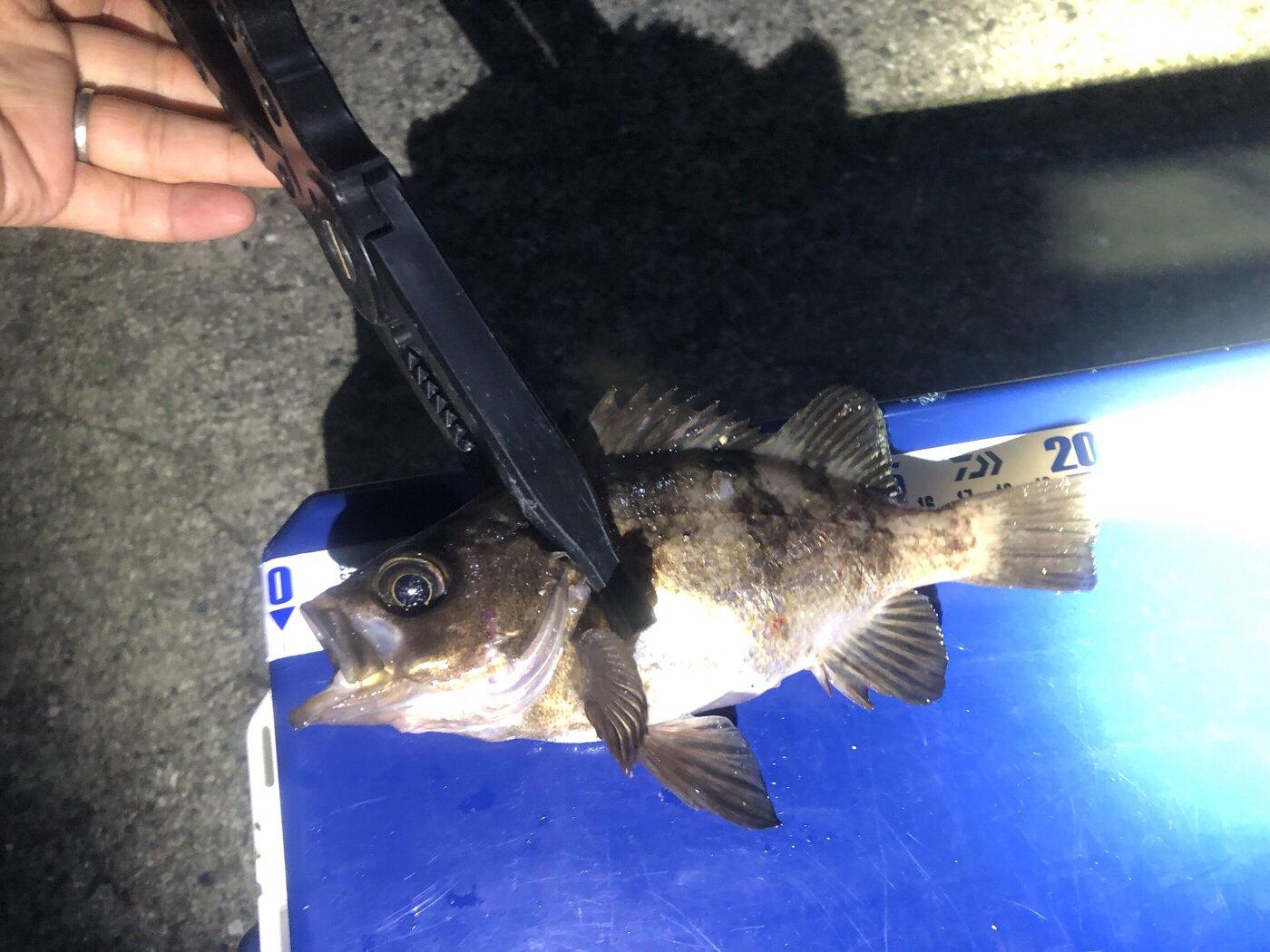 ヨシハラさんの投稿画像,写っている魚はメバル