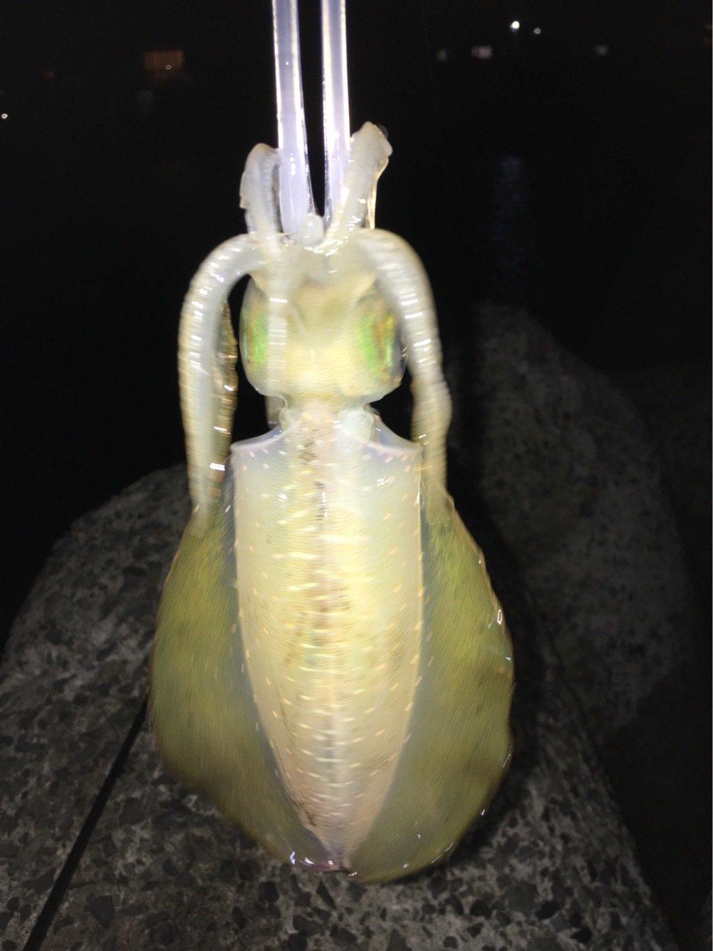 SHOHEYさんの投稿画像,写っている魚はアオリイカ
