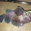 カチュアさんの岩手県でのキツネメバルの釣果写真