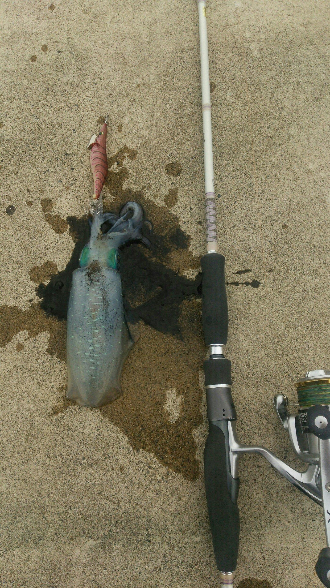 スーさんさんの投稿画像,写っている魚はアオリイカ