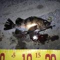 アブさんの兵庫県神戸市でのメバルの釣果写真