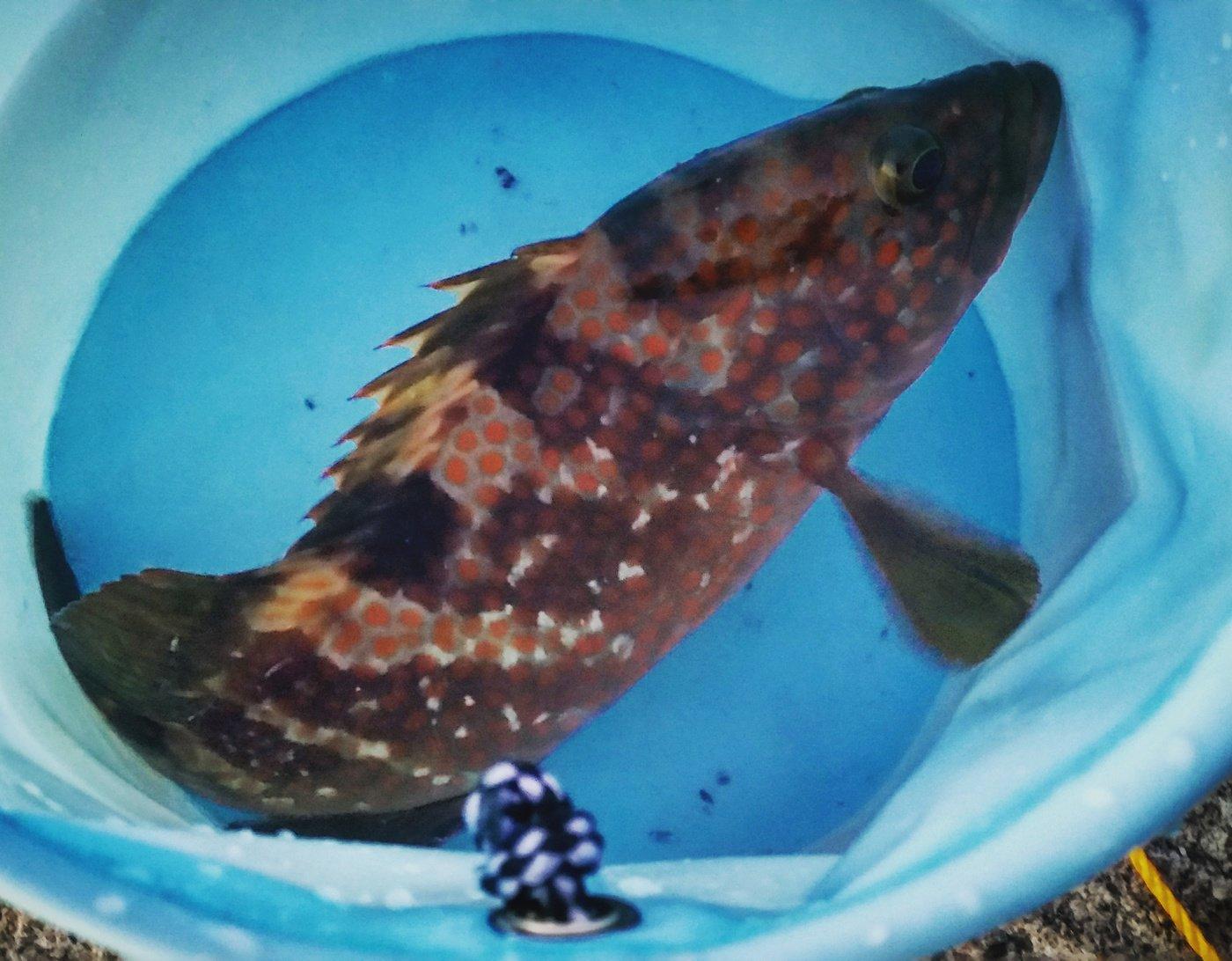 コッシュさんの投稿画像,写っている魚はキジハタ