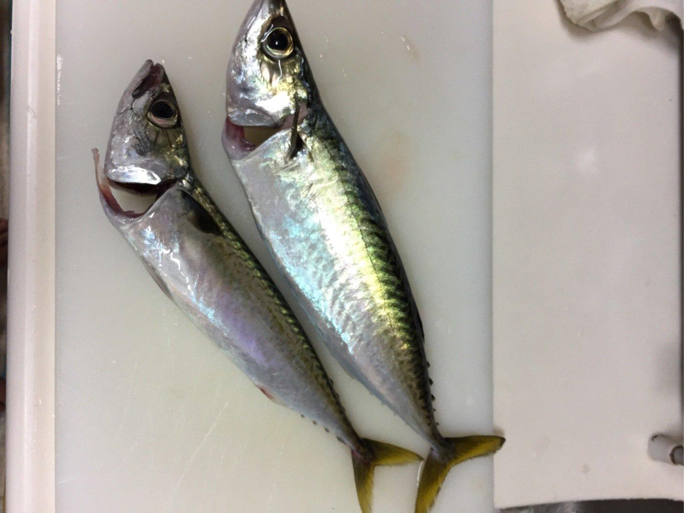 ひろひさんの投稿画像,写っている魚はマサバ
