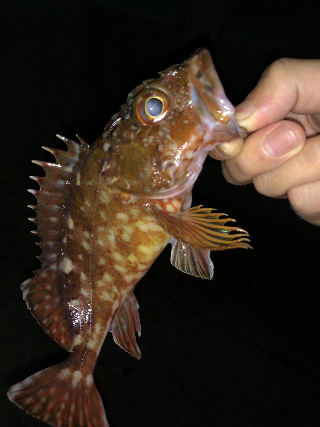 松下 真大さんの投稿画像,写っている魚はアカカサゴ