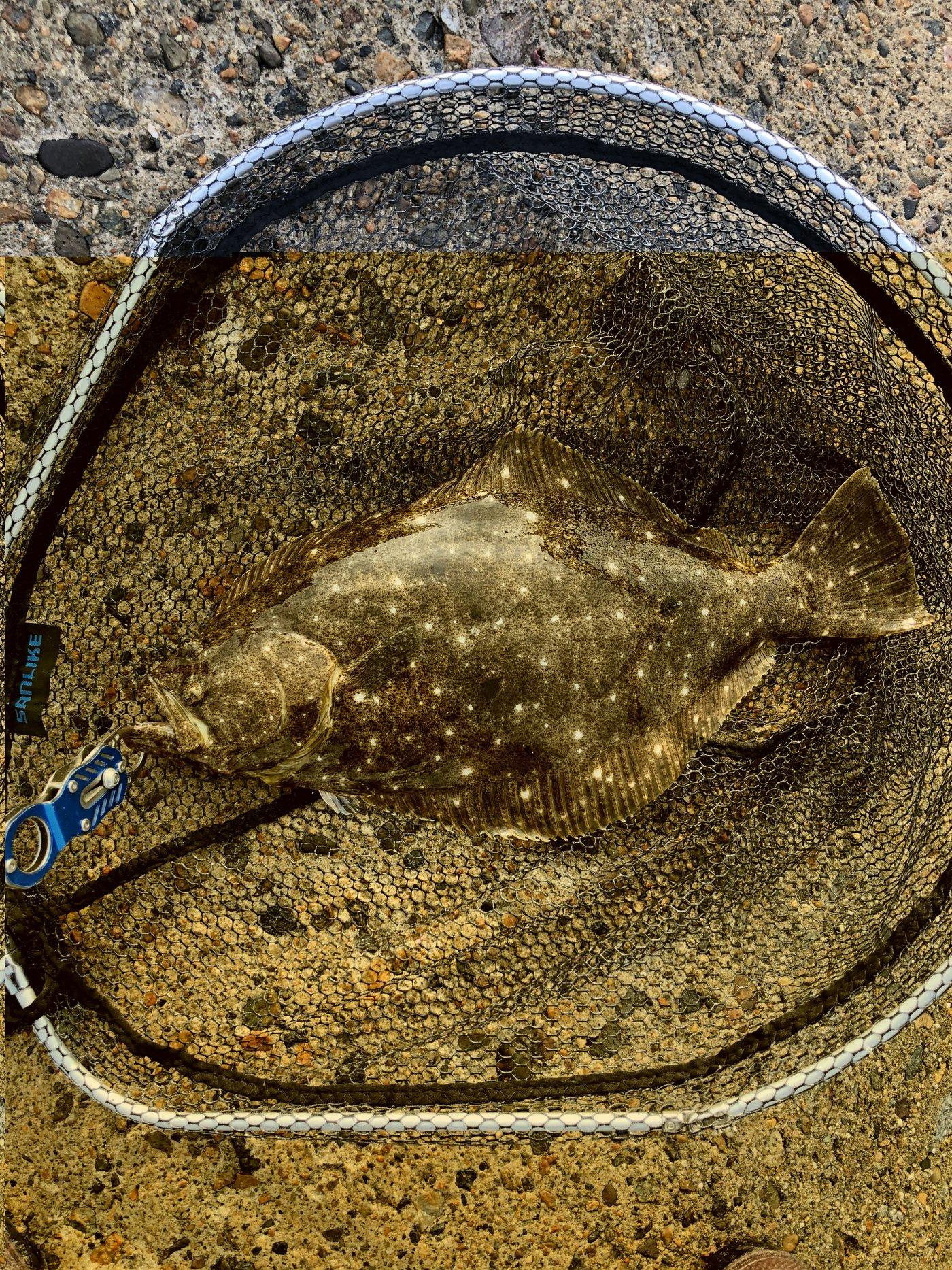 むーさんの投稿画像,写っている魚はヒラメ