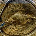 むーさんの石川県かほく市でのヒラメの釣果写真