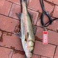 りゅさんの東京都中央区での釣果写真