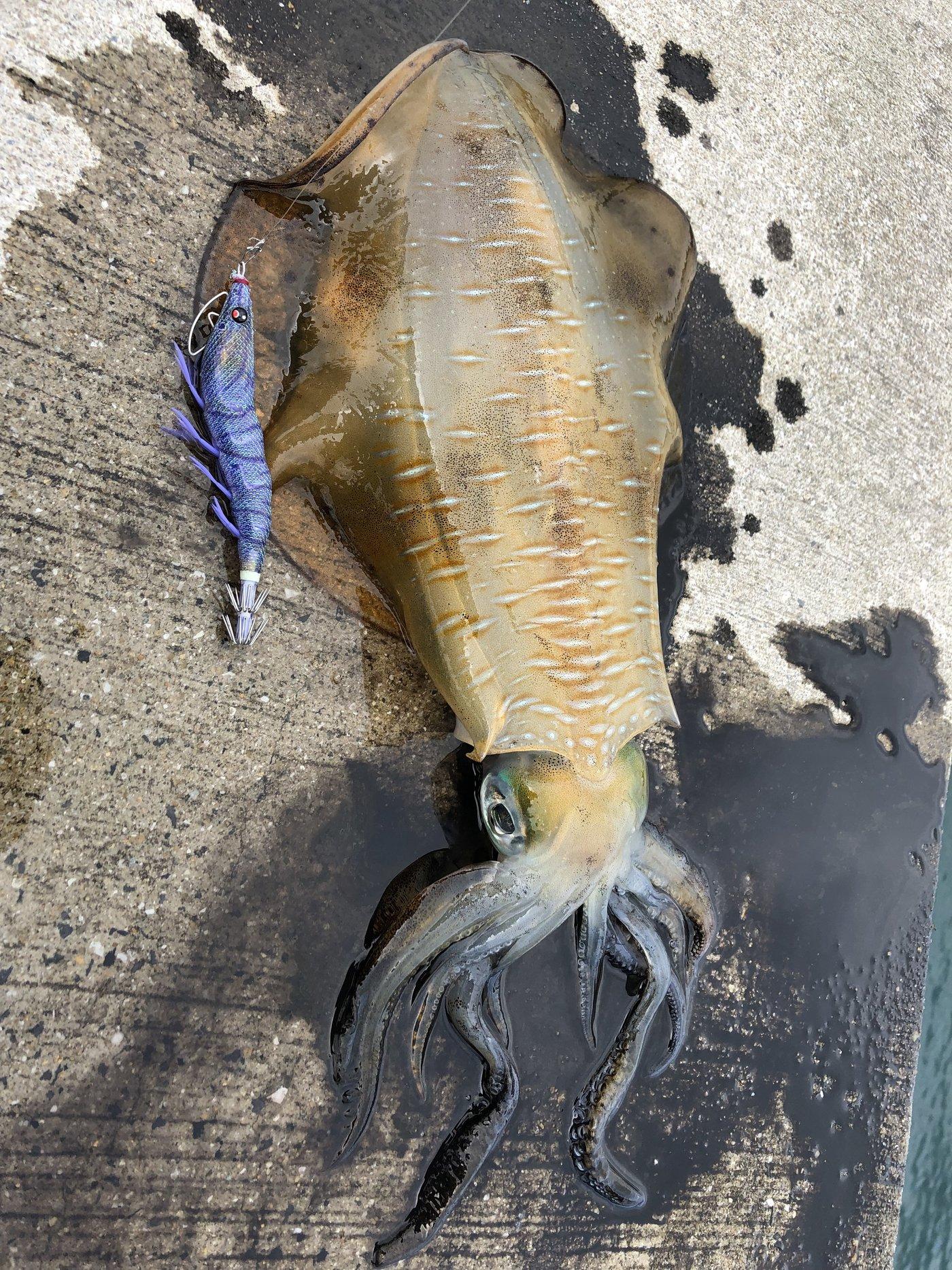 てんざんさんの投稿画像,写っている魚はアオリイカ