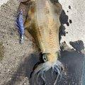 てんざんさんの佐賀県東松浦郡でのアオリイカの釣果写真