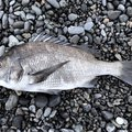 すーさんの静岡県沼津市でのクロダイの釣果写真
