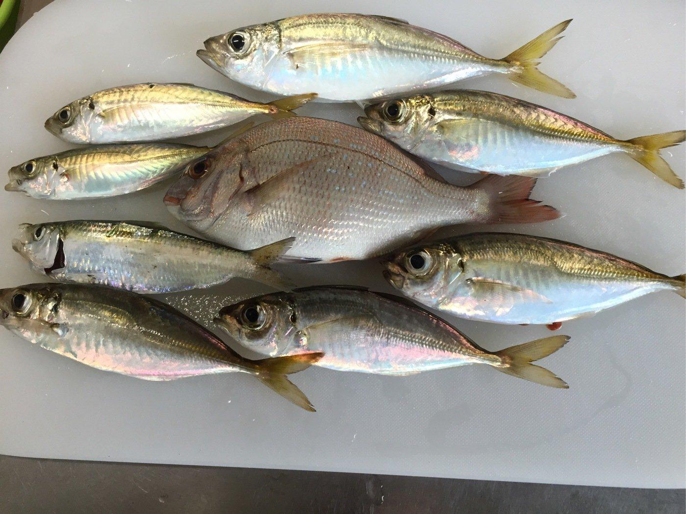 太郎さんの投稿画像,写っている魚はマダイ