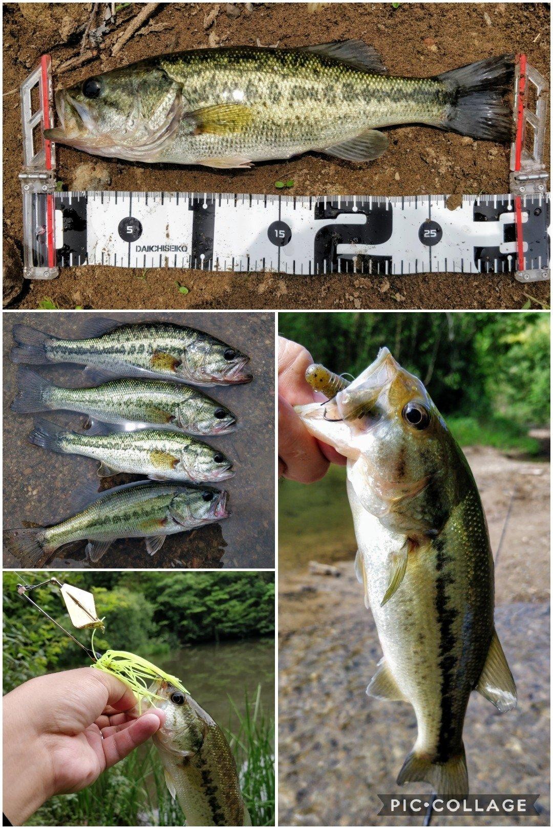 ヒゲダルマさんの投稿画像,写っている魚はブラックバス