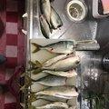 ぷーさんの大阪府堺市での釣果写真