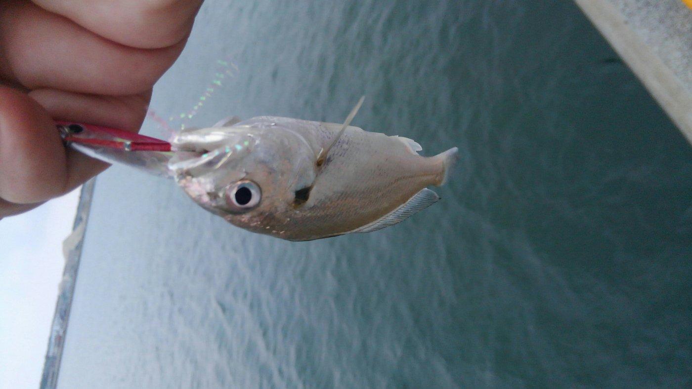 mrfjさんの投稿画像,写っている魚はニベ